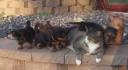 Sevimli köpek yavruları kediye sataşıyorlar